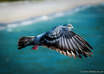 Rock Pigeon - image #389455 gratis