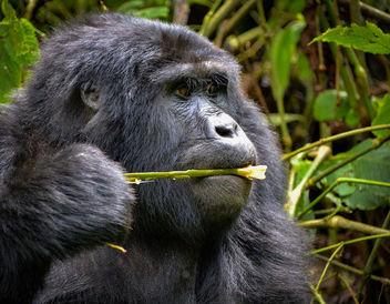 Mountain Gorilla, Uganda - Kostenloses image #389845