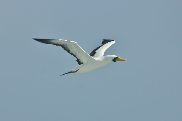 In-Flight Sea Bird - Free image #392745