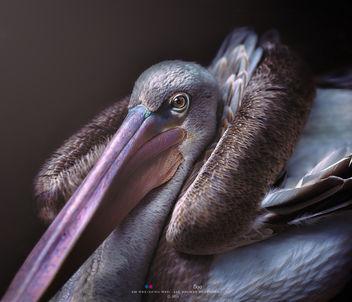 Brown Pelican - Free image #395135