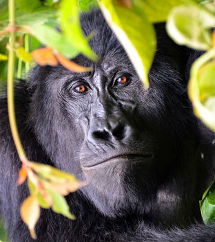 Mountain Gorilla, Uganda - image gratuit #398025