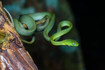Boiga cyanea, Green cat snake - Kaeng Krachan National Park - Free image #403495
