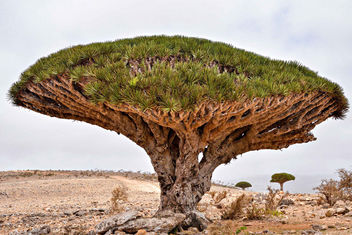 Dragon's Blood Tree - Free image #403505