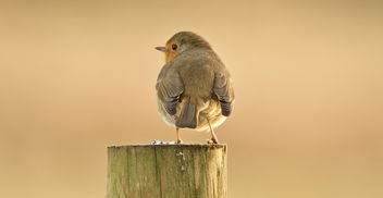 Robin(2) - Kostenloses image #405615