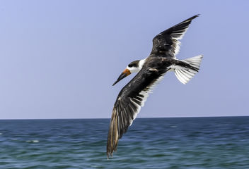 Skimmer Flying - image gratuit #408235