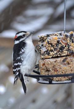 Downy Woodpecker - Free image #409715