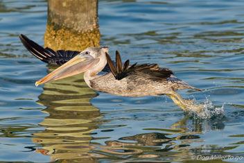 Brown Pelican - Free image #410075