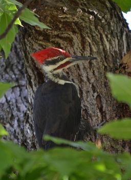 Pilot Woodpecker - Free image #412375