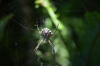 Golden Orb Spider - Free image #412455