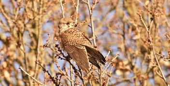 Kestrel - warming its wings - Free image #413075