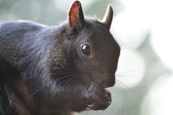 Black Squirrel - image gratuit #413095