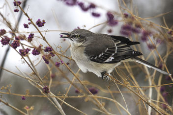 Mockingbird with Beauty Berry - image #413145 gratis
