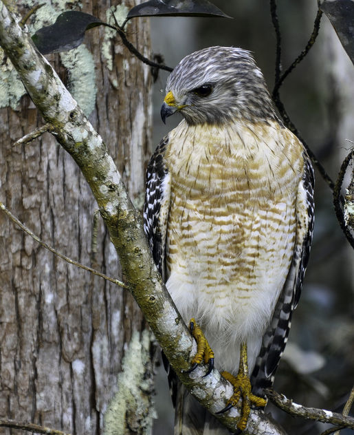 Red Shouldered Hawk - Free image #413275