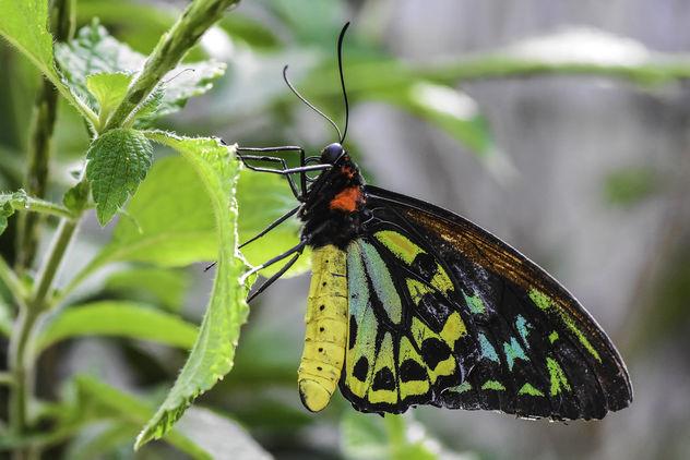 Birdwing Butterfly - image gratuit #413385