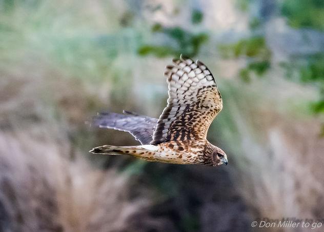Harrier on Patrol - image gratuit #413405