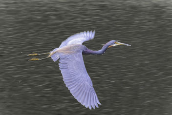 Heron in Flight - Free image #414555