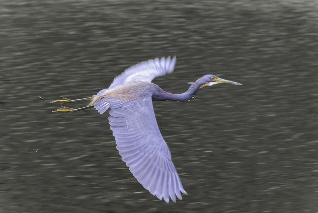 Heron in Flight - Free image #414555