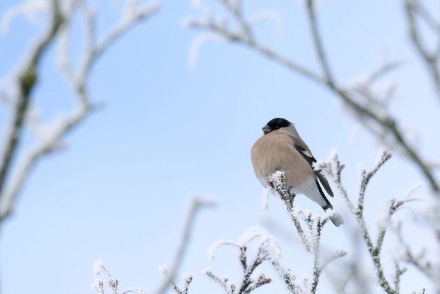 Bullfinch, Pyrrhula Pyrrhula, Gil - Free image #414605