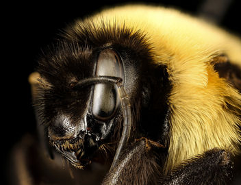 Bombus affinis, queen, racine wi, LW Macior 1965 sideface_2017-01-26-12.54 - Free image #416755