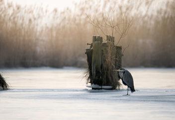 Grey Heron, Ardea Cinerea - Free image #416815