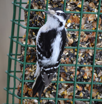 Female Downy Woodpecker - image gratuit #417355