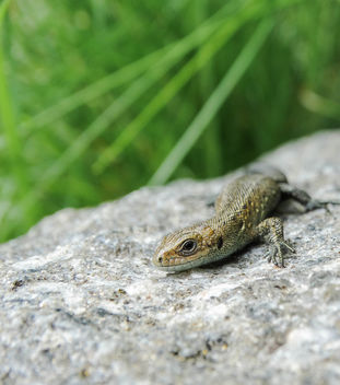 Common lizard // Zootoca vivipara - image gratuit #417705