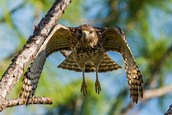 Immature Red-shouldered Hawk - бесплатный image #421165