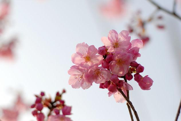 Sakura - image #422595 gratis