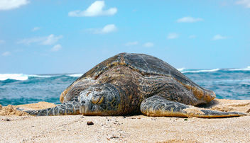 Sea Turtle. (superfamily Chelonioidea) - image gratuit #423405