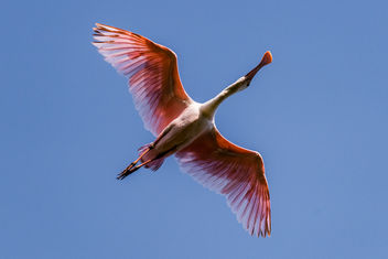 Roseate Spoonbills are back - Kostenloses image #423415