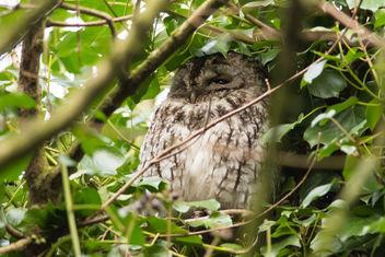 Tawny Owl - image gratuit #424815
