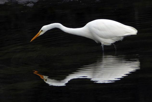 White heron,(Egretta alba modesta) - image #427185 gratis