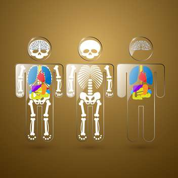 Illustration of human anatomy on the example of the skeleton and organs - vector #132205 gratis