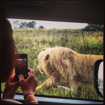 lion sneaks near the car - image #183605 gratis