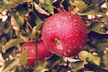 Apples on tree branches - Free image #186745