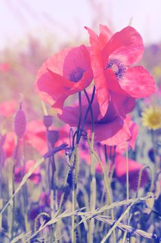 Red poppies on field - image #186795 gratis