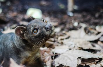 Fossa animal - Free image #187455