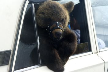 Brown bear in car - image #187765 gratis