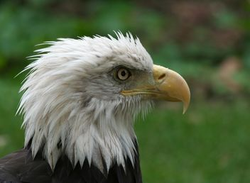 Portrait of Bald Eagle - image gratuit #187795