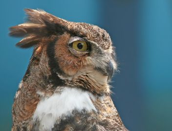 Great Horned Owl - image gratuit #187805