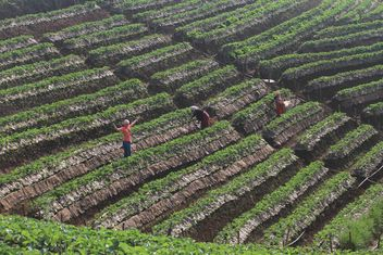 Strawberry fields in Thailand - Free image #199025
