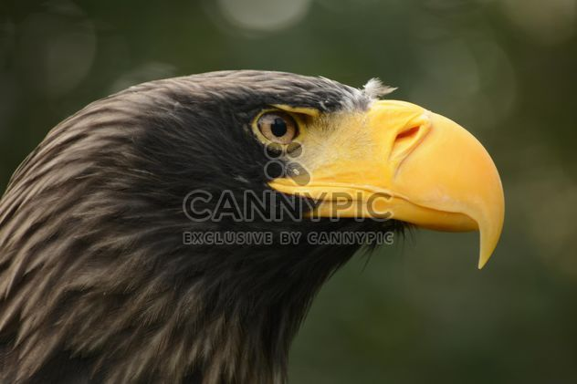 Close-up portrait of eagle - image #201475 gratis