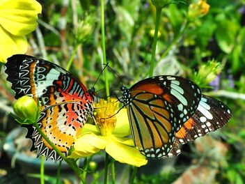Pair of butterflies on flower - бесплатный image #201545