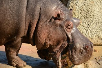 Hippo In The Zoo - Kostenloses image #201585