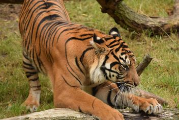 Tiger in the Zoo - image #201625 gratis