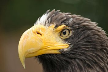 Close-Up Portrait Of Eagle - image gratuit #201645