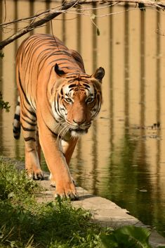 Tiger Close Up - image gratuit #201705