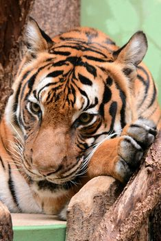 Tiger Close Up - image gratuit #201725