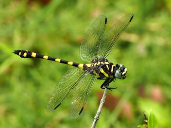 Tiger Dragonfly - Kostenloses image #201735