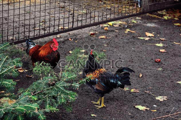 Hens in a farmyard - Free image #229425